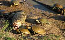Caimans and turtles in Los Llanos