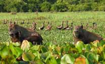Capibaras and ducks in Los Llanos
