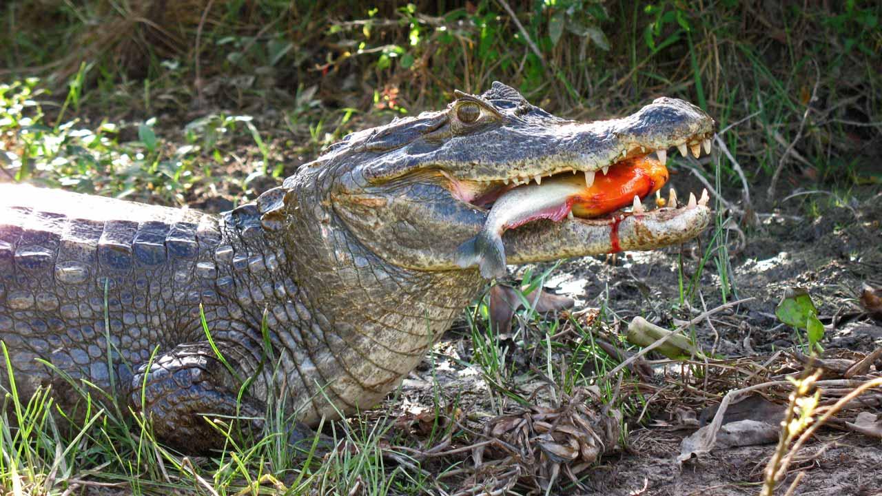 World 39 s Largest Anaconda SnakeGiant Anaconda Eating Crocodile