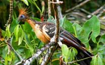 Hoatzin bird (Opisthocomus hoazin) in the Orinoco Delta